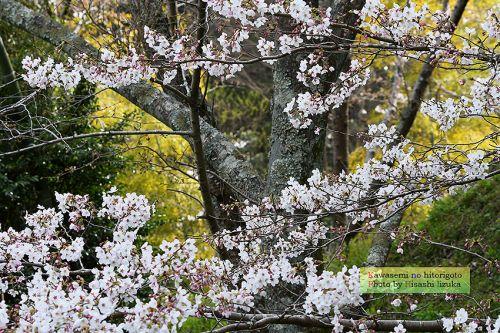 桜 2019.3.28