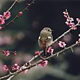 早春(ジョウビタキ)