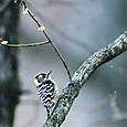 粉雪のイブ(コゲラ)